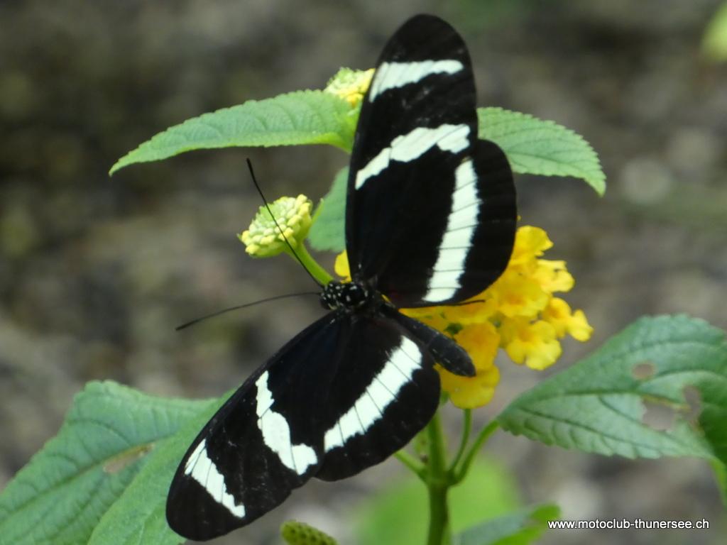Papiliorama  (15)