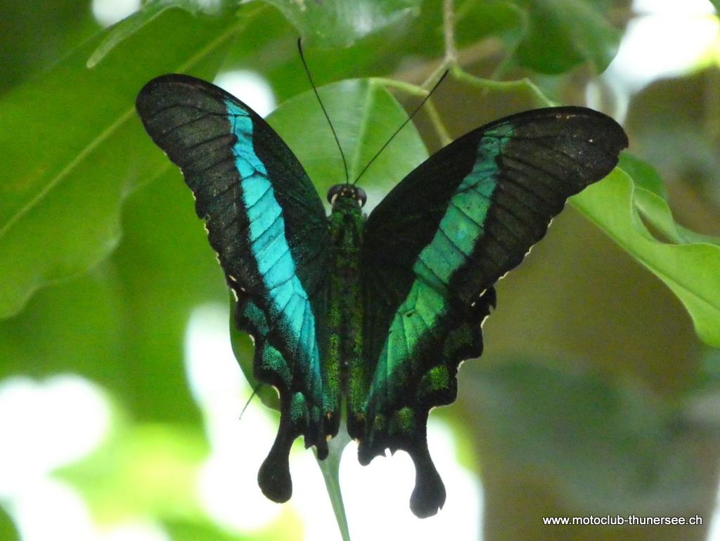 Papiliorama  (17)