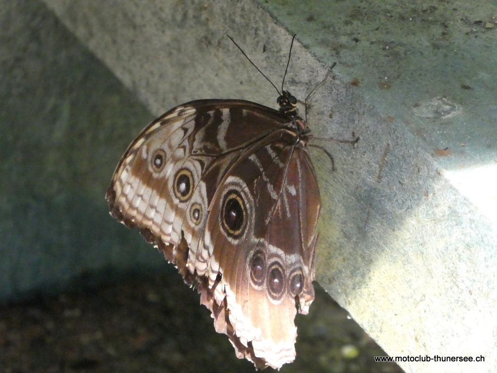 Papiliorama  (21)