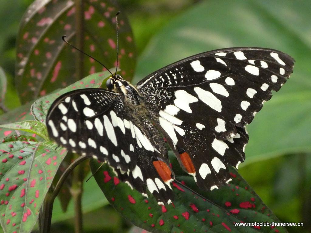 Papiliorama  (26)